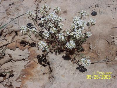 Lepidium papilliferum